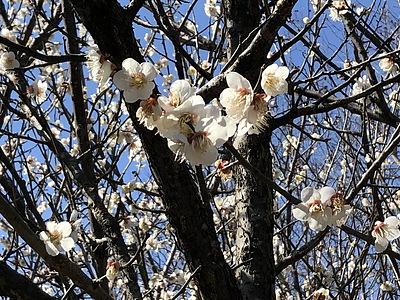 英語 梅 の 花